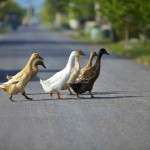 Villa Kouru - Ducks Crossing Road