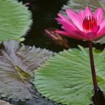 Villa Kouru - Lotus Flower